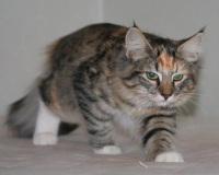 Лесная кошка норвежская