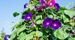 Причины покупки и правила высадки семян ипомеи